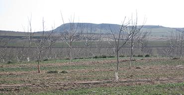 Nogales en invierno. Nueces Valle Arga, Navarra.