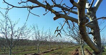 Nogales en primavera. Nueces Valle Arga, Navarra.