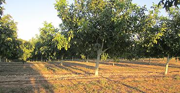 Nogales en verano. Nueces Valle Arga, Navarra.